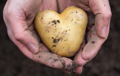 Подпрограмма по селекции и семеноводству картофеля будет реализована в этом году