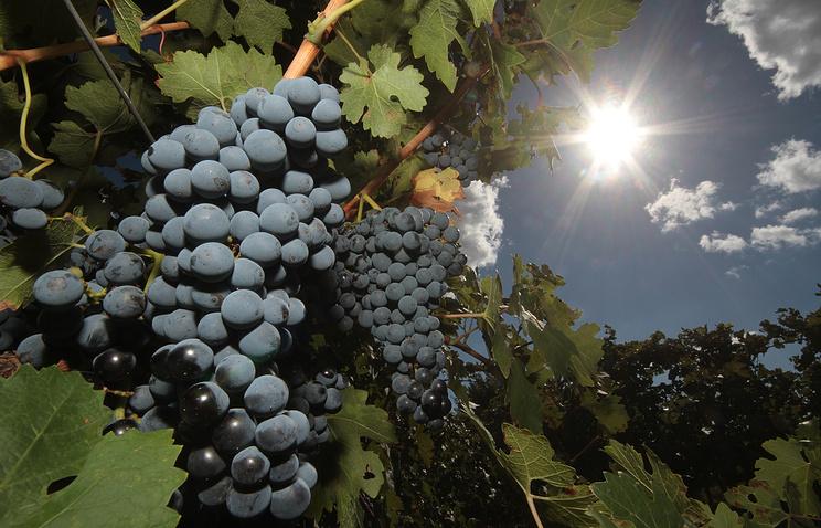 Виноделы Севастополя хотят увеличить площадь виноградников и создать единый бренд