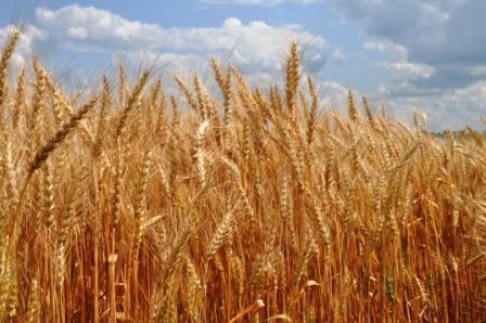 Озимая пшеница: изобилие на деле