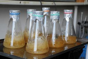 Технология «бородатого корня» поможет выращивать лекарственные растения