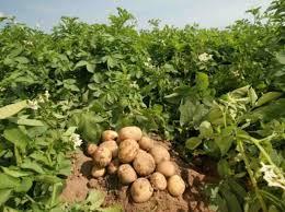 Глубоководный радар поможет в селекции картофеля