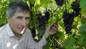 Сибирский виноградник, итоги сезона в Сростках
