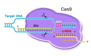 Редактирование генов как инструмент селекции