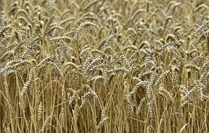 Мутаген улучшает свойства яровой пшеницы