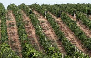 На смену импортным саженцам винограда