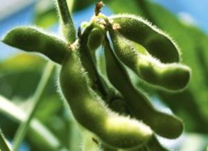 2,5 миллиона — на создание сорта
