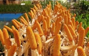 Рынок кукурузы в России