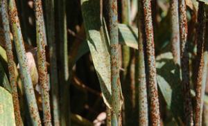 Стеблевая ржавчина «выбросила» гены