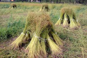 В Ижевске займутся глубокой переработкой льна