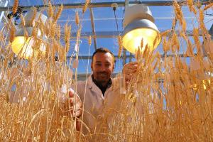 Ученые ускорили рост пшеницы в три раза