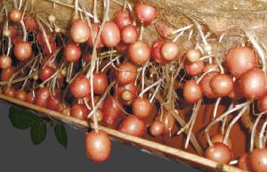В Новгородской области поддержат производство мини-клубней