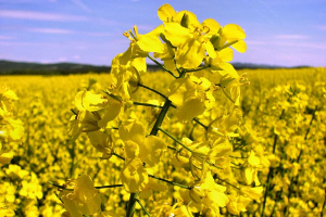 В Челябинской области хотят уйти от пшеницы
