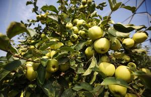 Яблони и груши новых сортов высадят в Уральском ГАУ