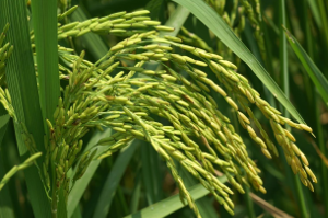 Рис с урожайностью на 25-31% выше