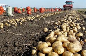Утверждена подпрограмма по картофелю