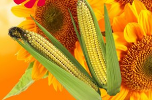 Рынок семян: кукуруза, подсолнечник, рапс