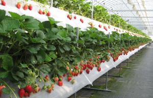 Производство садовой земляники. Чьи сорта?