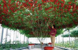 Томат-дерево