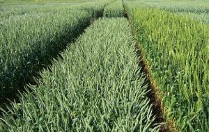 Низкорослые сорта пшеницы