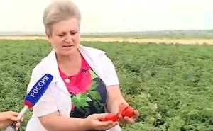 Вторая жизнь волгоградских томатов