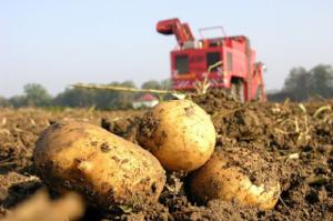 Картофель в России