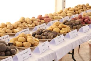 Россия нескоро откажется от импорта семенного картофеля