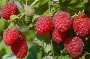 Селекция ягодных культур