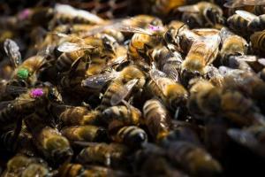 Глифосат против пчел
