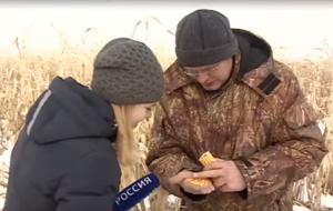 Кукуруза из-под снега