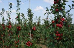 Фермерам помогут заложить сады