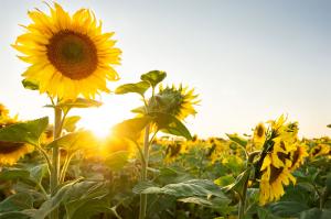Подсолнечник: аграрии выбирают технологичные семена