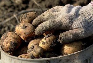 Первый урожай картофеля нового сорта