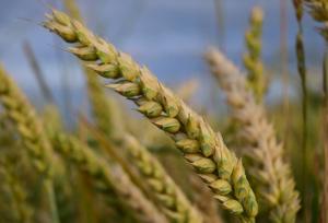 Селекционеры пшеницы ищут новые ниши