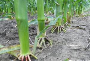 Кукуруза с суперкорнями