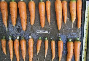 Морковь для бизнеса
