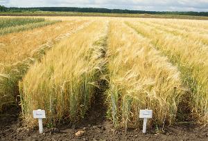 Селекция и семеноводство зернофуражных культур