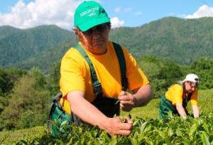 Ученые России и Китая расшифруют геном чая