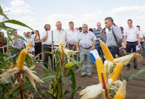 Более 40 отечественных гибридов кукурузы