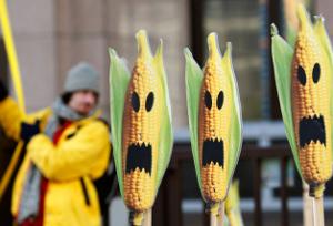 ЕС разрешил вредную кукурузу?