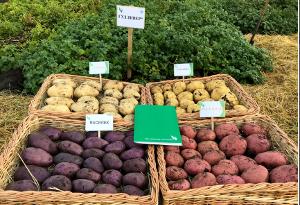 Новая жизнь дагестанского картофеля