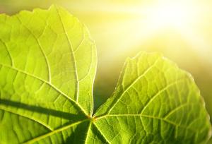 Нужны сорта с повышенным фотоэнергетическим потенциалом