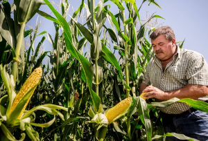 Битва за урожай кукурузы
