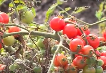 Помидоры со вкусом манго или вишни