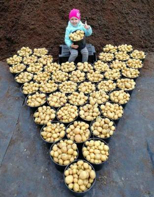 Уборка мини-клубней безвирусного картофеля