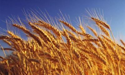 Анализ генного разнообразия пшеницы