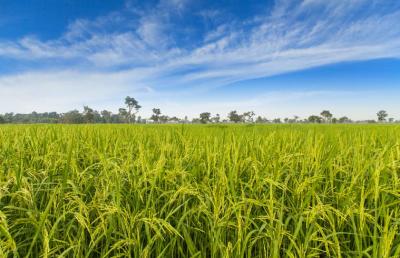 Инновационные технологии для риса