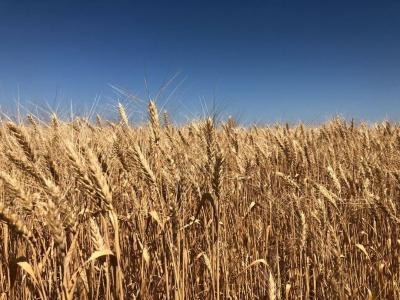 Твердой пшенице – особый статус!