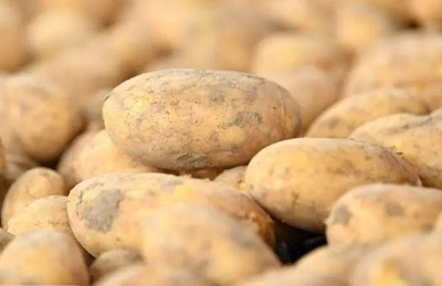 Бум на семенной картофель