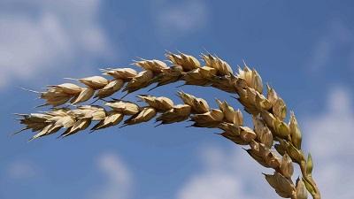Устойчивые сорта пшеницы