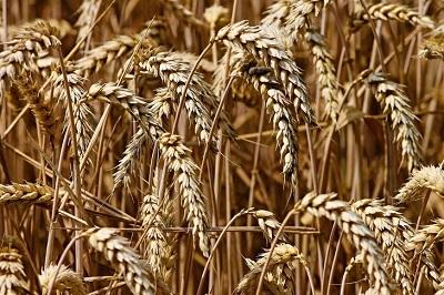 Создание климатоустойчивых сортов пшеницы